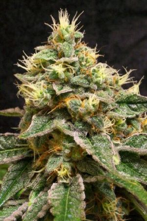 Award-Winning-THCC-Farms-UK-Cheese