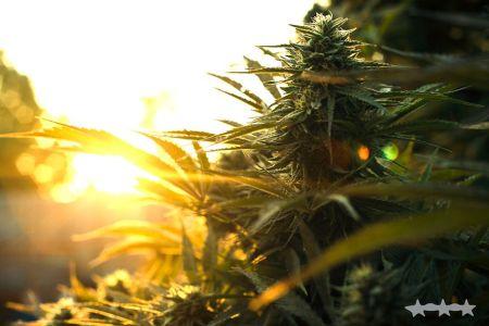 THCC Farms - Award Winning Cannabis10