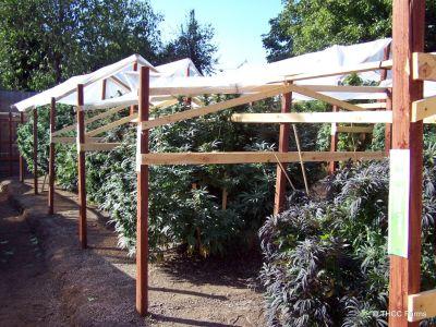 THCC Farms - Award Winning Cannabis12