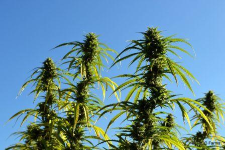 THCC Farms - Award Winning Cannabis20