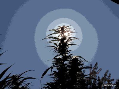 THCC Farms - Award Winning Cannabis22