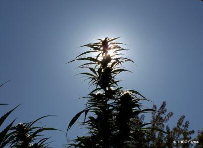 THCC Farms - Award Winning Cannabis23