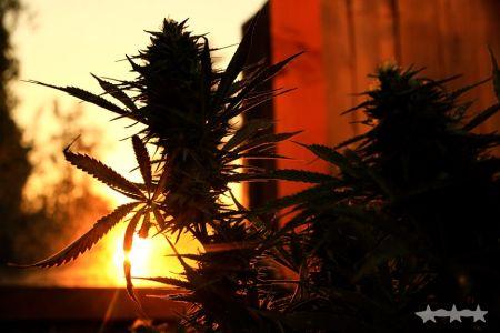 THCC Farms - Award Winning Cannabis5