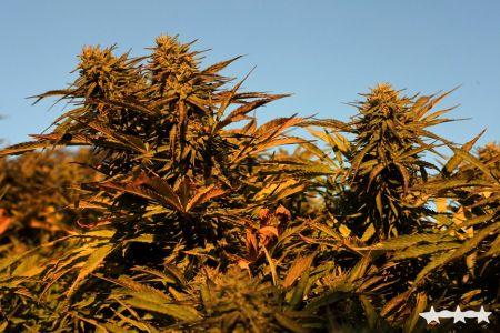 THCC Farms - Award Winning Cannabis8